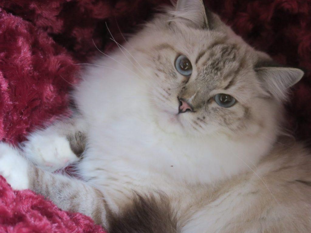BB seal, bleu, roux, crème, silver, torty & blanc;             voir site  chat.ragdoll.free.fr.